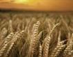 10 % по-малко пшеница тази жътва