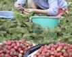 BBC отразява живота на берачите на ягоди