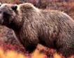 Случаят с мечката-стръвница все по-заплетен