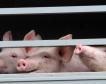Бразилия с рекорден износ на свинско месо