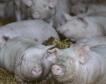 Свинското месо 70% по-евтино в Китай