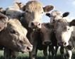 Най-малко 5 крави за европейско подпомагане