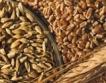 Зърно за хляб има, въпреки износа на пшеница