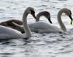Долетяха  първите лебеди от Скандинавия