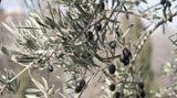 В Кърджали ще засаждат маслини