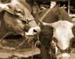 Субсидии за млекопроизводители до края на годината