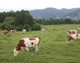 100 – те крави на Яне Янев