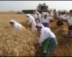 Пшеницата с много добро качество