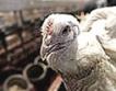 Птицевъди затруднени от европейски изисквания