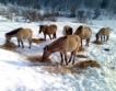 Завръщането на тарпани в Източните Родопи