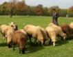 Биогорива vs. овчари в Германия