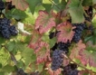 Невероятна реколта от грозде