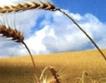 Вял пазар на пшеница в Добруджа