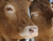 ДНК тестове на говежди продукти