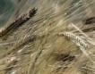 Спад в цените на зърното