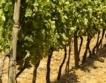 Големите винарни имат свои лозови масиви