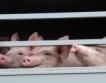 Епидемия по свинете настъпва в Европа?