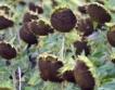 Търговище: Ниски добиви от слънчоглед и царевица