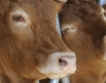 Млечното говедовъдство & кои ферми имат шанс