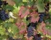 Мана и градушки съсипаха реколтата от грозде