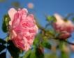 Изкупната цена на розата = до 2.50 лв./кг