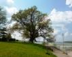 """Дъб от Силистра е """"Дърво с корен 2015"""""""