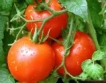 Силно поевтиняване на доматите