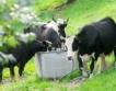 Данъчни и БАБХ проверяват ферми за мляко