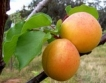 Прогноза: Слаба реколта от кайсии
