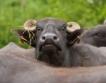 Супер иновативна биволо-ферма в Цар Калоян