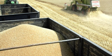 България с най-висок добив пшеница от 1980 г.