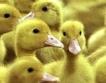 Пияни птици нападат коли в Австрия