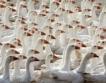 US фирма ще произвежда патешко месо в Севлиево