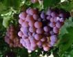 По-малка реколта от винени сортове грозде