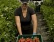 Испания търси 600 берачи на ягоди