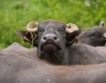 13 млн.лв. държавна помощ за животновъди