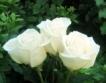 Рекорден ръст при добив на маслодайна роза