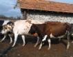 Угърчинският сиренар. От поляните до пазара