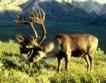 Северни елени се отглеждат край Момчиловци