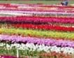 130 сорта лалета в Балчик