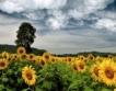 Хибриди слънчоглед от Добруджа в чужбина