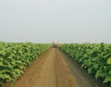 """Очаква се 1373 тона реколта тютюн """"Бърлей"""""""