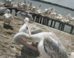 Пеликани край Бургас + видео