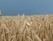 ЕС: Спад в добива на зърнени култури