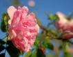 Силен спад на цените на розовия цвят