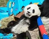 Виена: Пандите-близнаци станаха на година