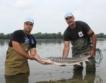 140-сантиметрова есетра откриха в Дунав