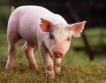 ЕК одобри помощ за свинете