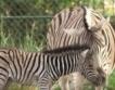 Бебе зебра във Виенския зоопарк