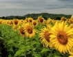 По-ниски добиви от слънчоглед